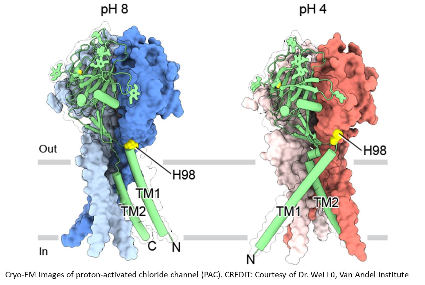 Structure of an ion channel maintaining pH balance unraveled!