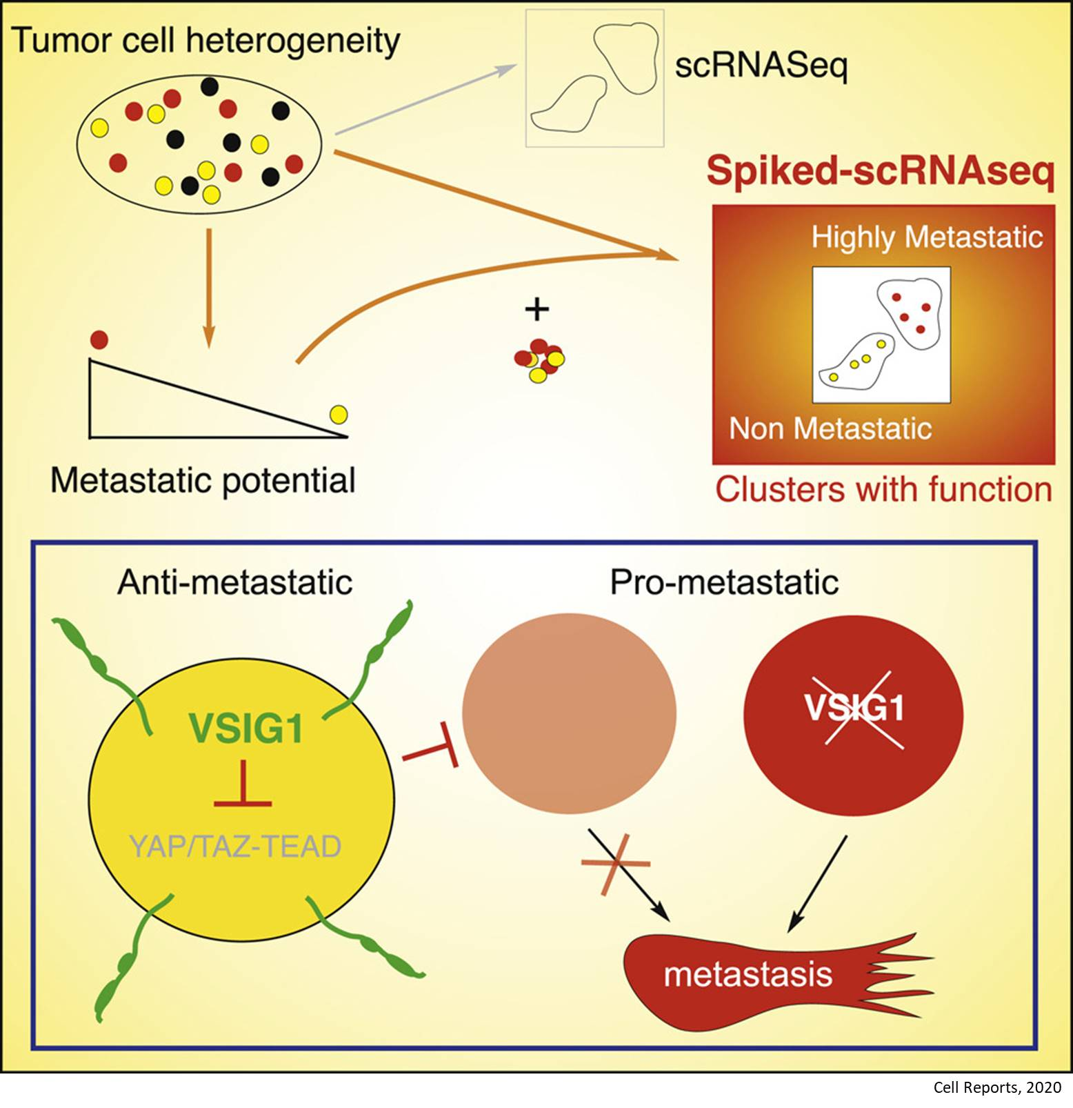 How cells with metastatic potential or pro-metastatic states arise?