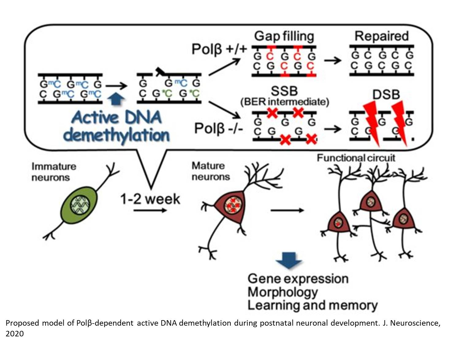 Brain cognitive development supported by DNA repair enzyme