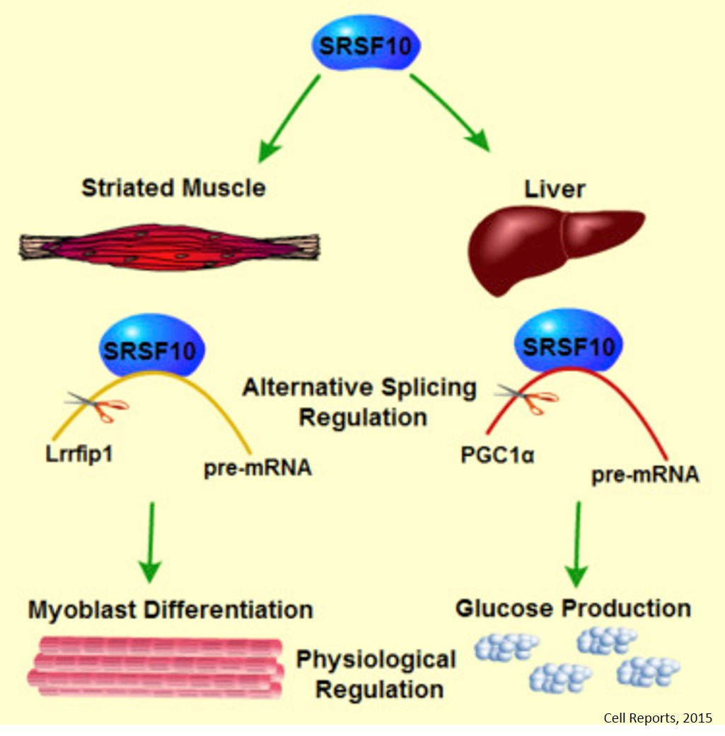 Alternative splicing factor regulates muscle differentiation and glucose production