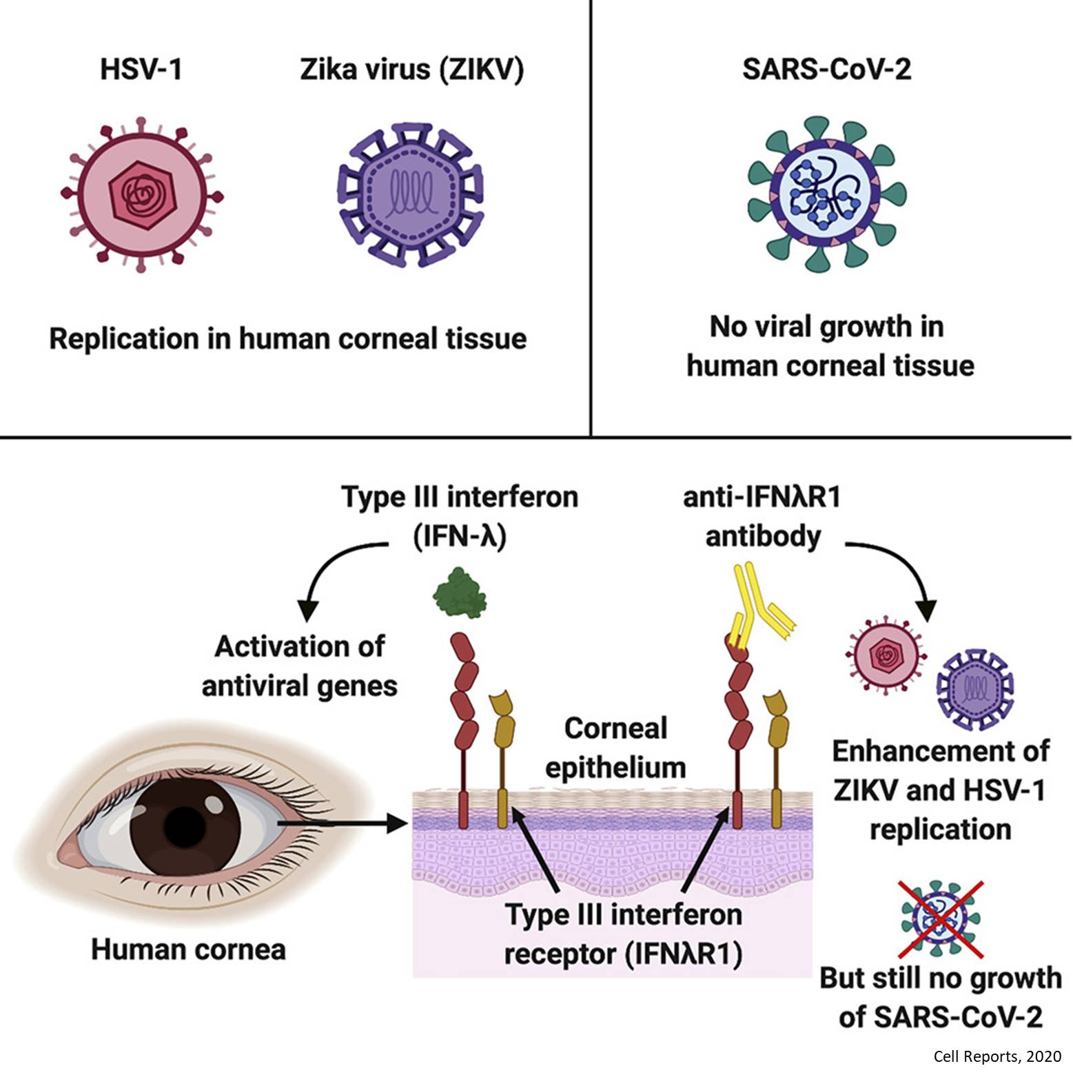 Cornea resists novel coronavirus infection!