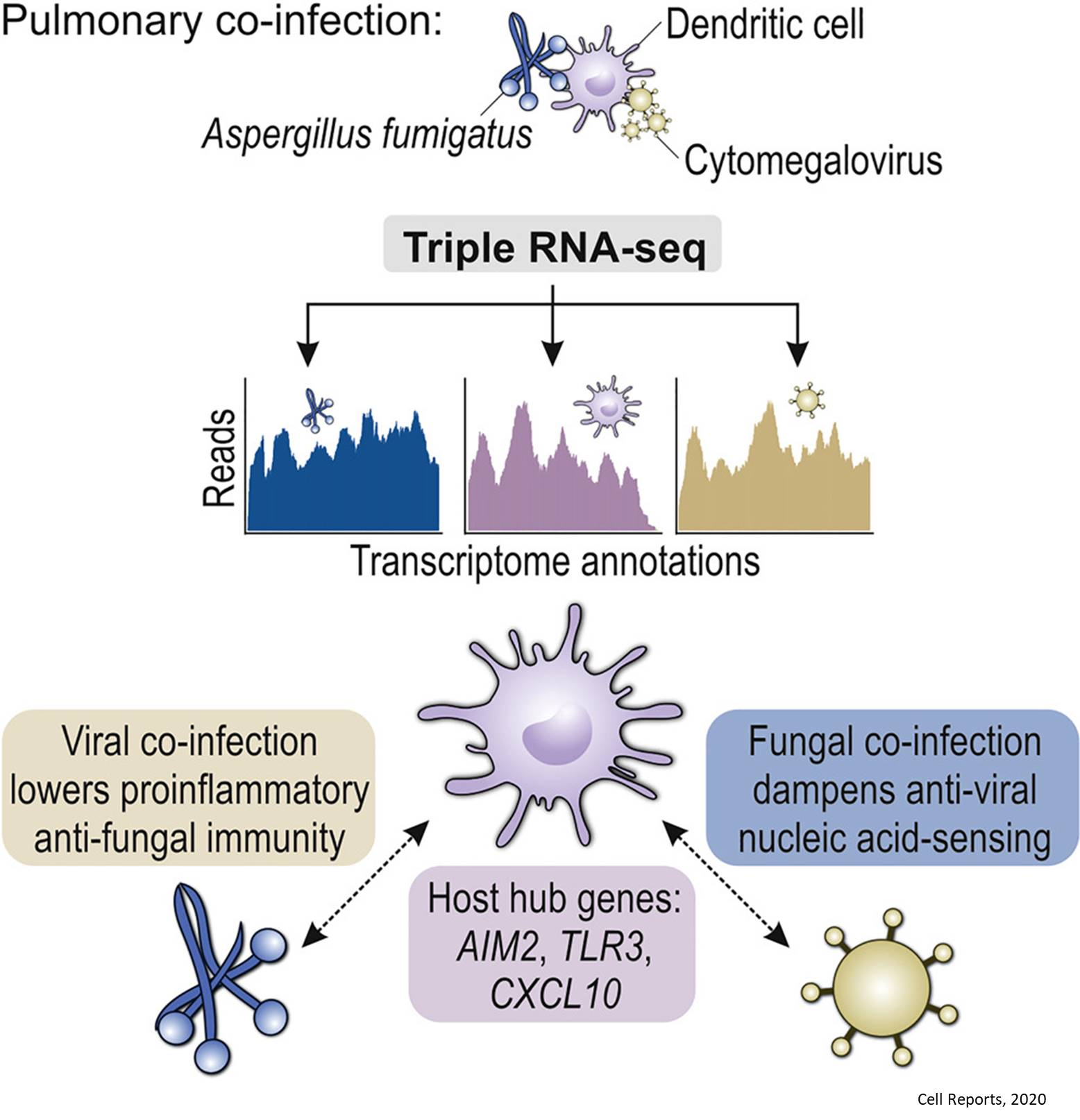 Triple RNA-Seq Reveals Synergy in a Human Virus-Fungus Co-infection Model
