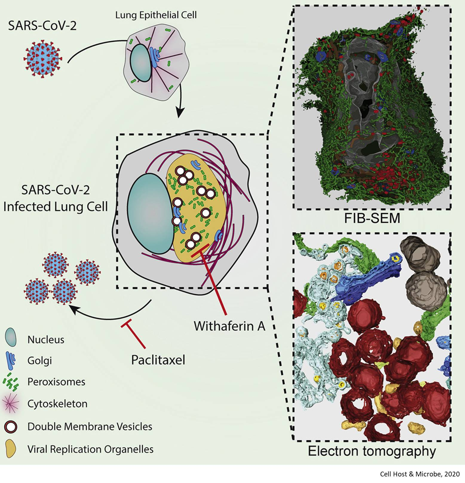 Mini replication compartments in the cells infected with SARS-CoV-2