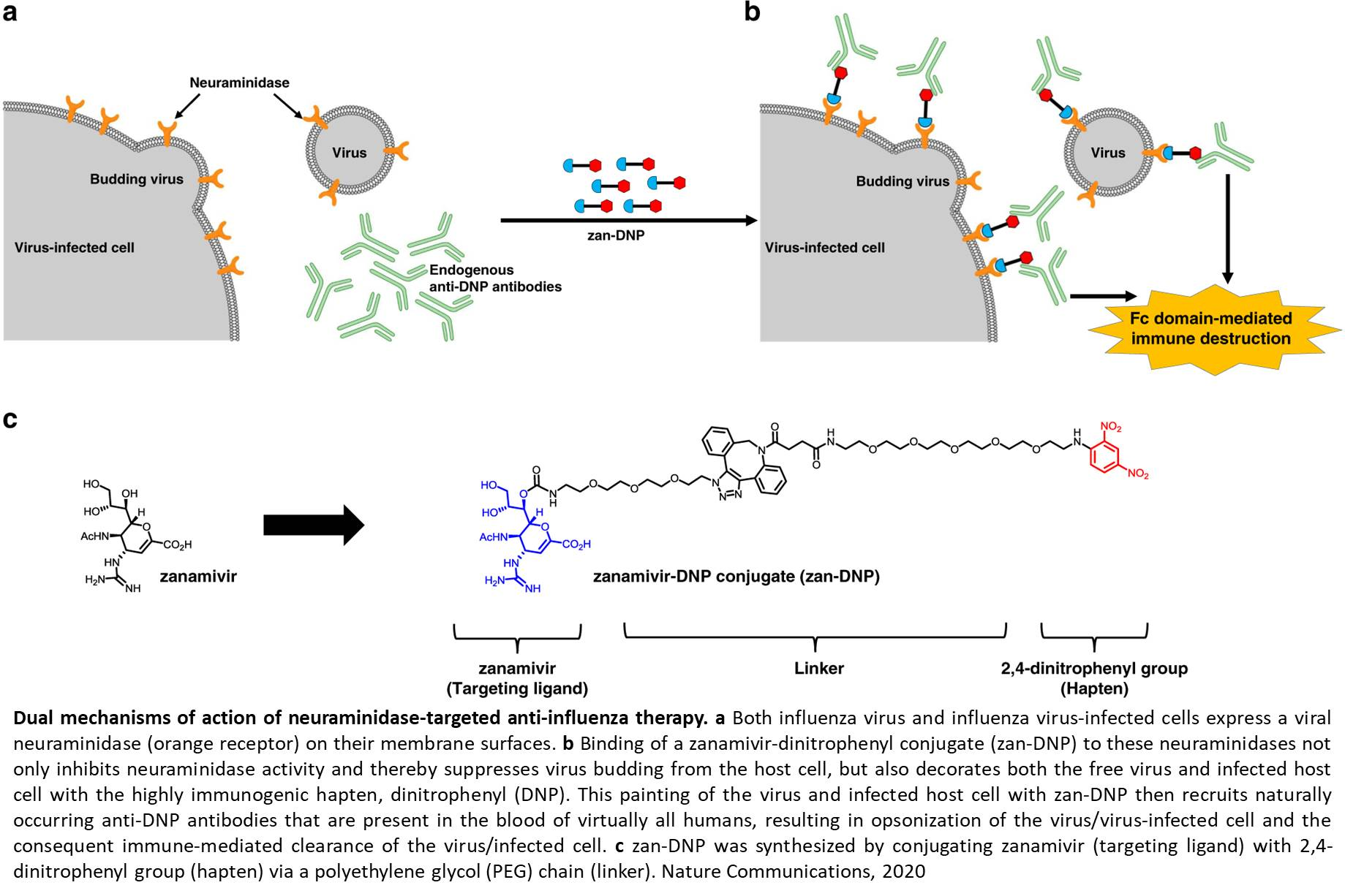 A universal dual mechanism immunotherapy for the treatment of influenza virus infections
