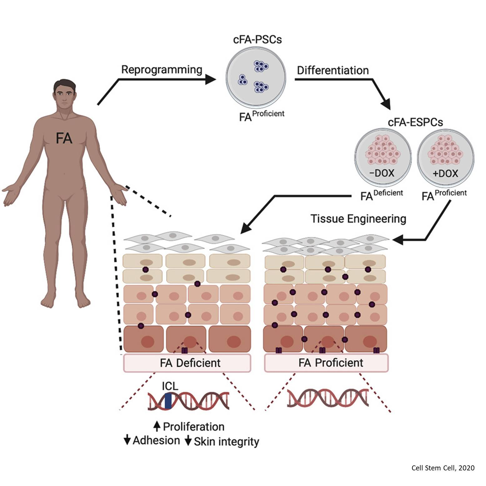 Inherited DNA Repair Defects Disrupt the Structure and Function of Human Skin