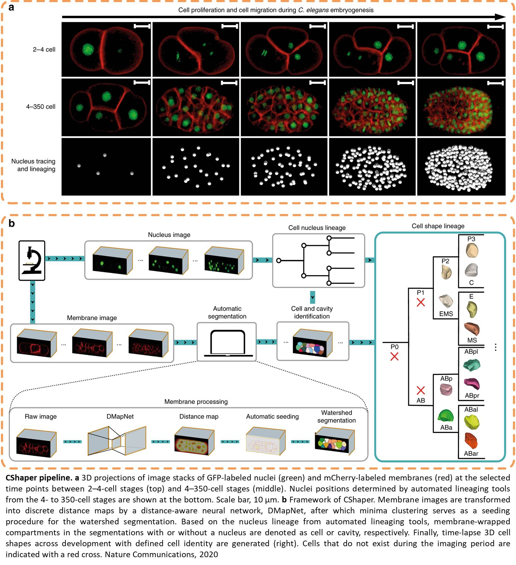 AI tool to analyze 4D cell morphology data