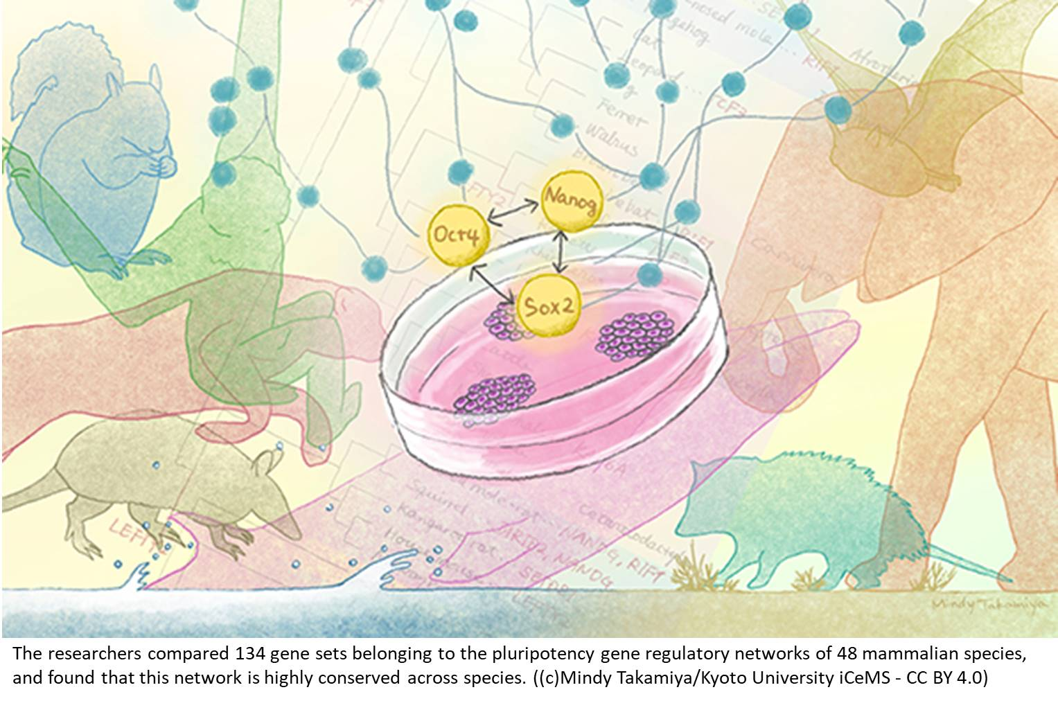 Highly conserved pluripotency gene regulatory networks across species