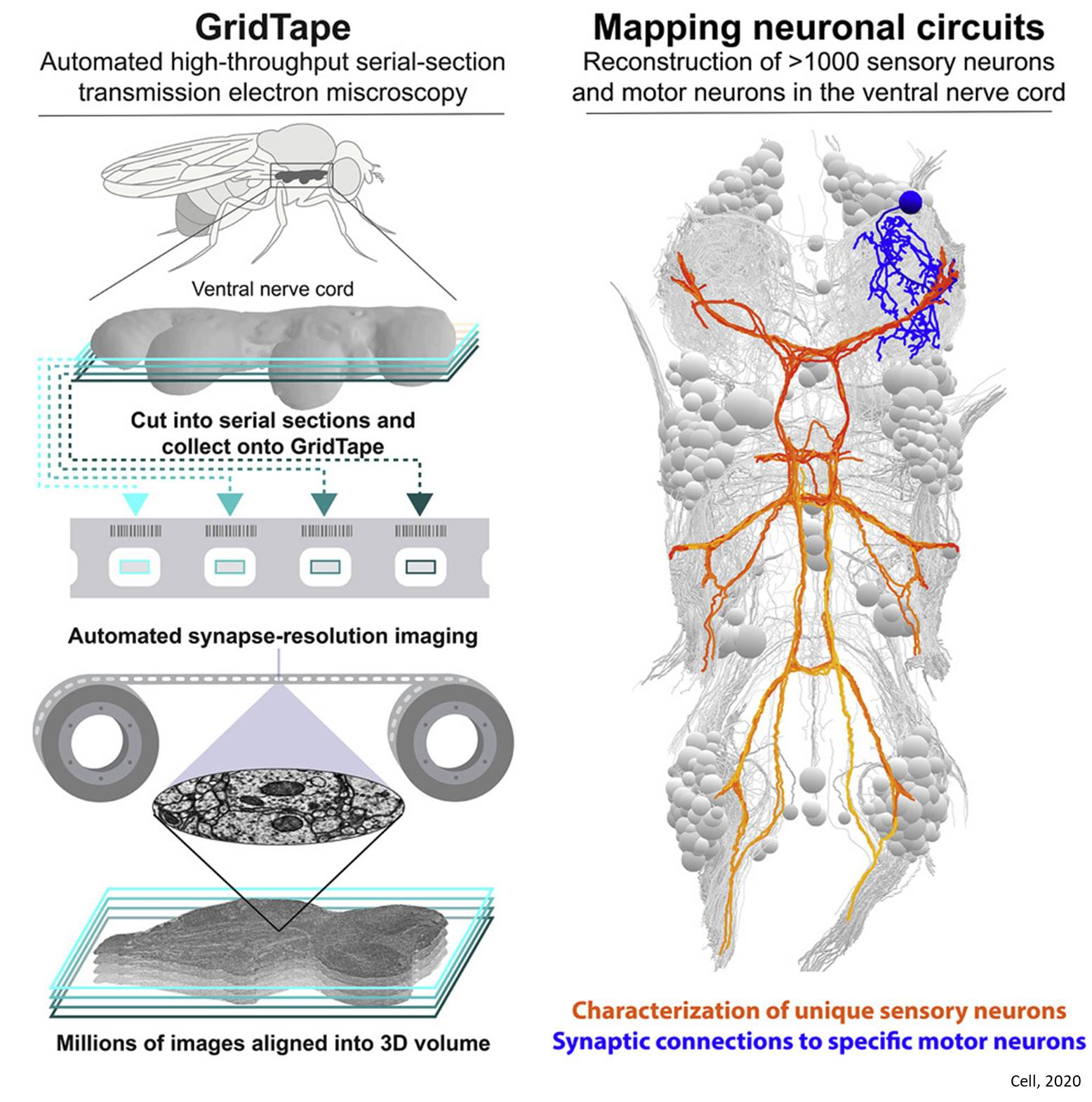 Motor neuron circuitry unraveled using automated electron microscopy platform
