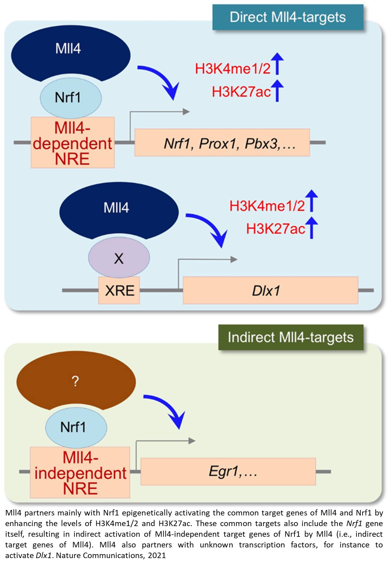 Epigenetic regulation of the development of growth hormone-releasing hormone-producing neurons