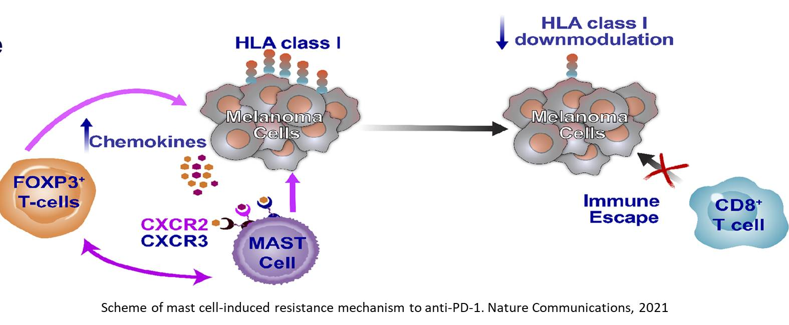 Tumor-infiltrating mast cells are connected to immune checkpoint inhibitor resistance