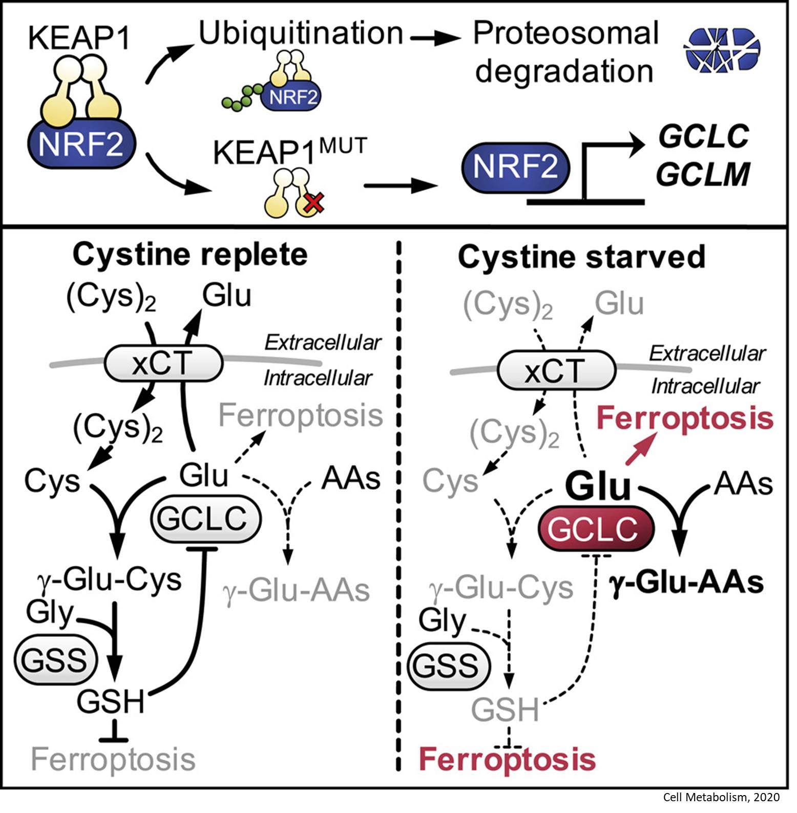 How cancer cells protect themselves from ferroptosis