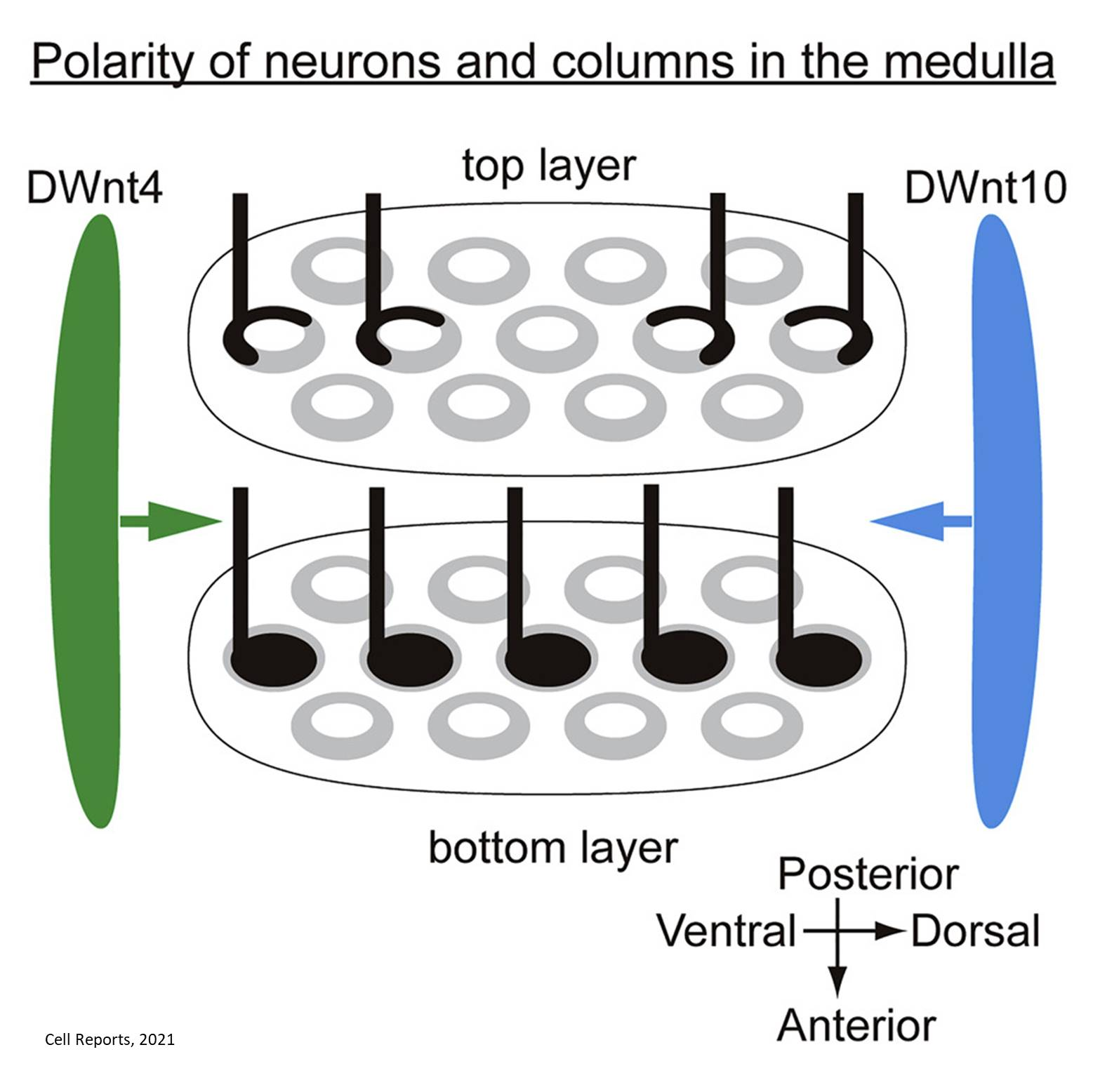 How signals help in the development and maintenance of neuronal columns