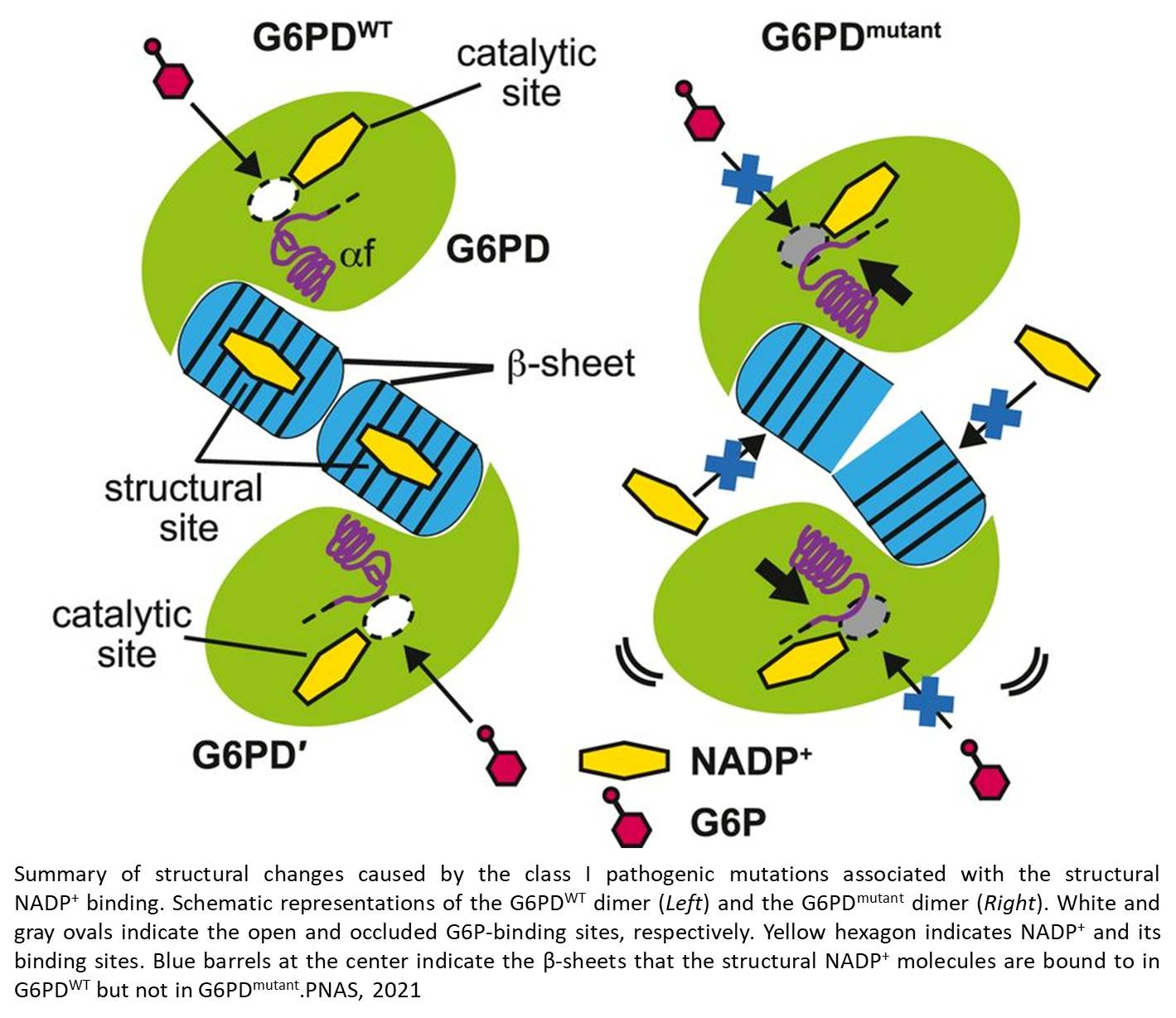 Structural changes in G6PD causes common blood disorder
