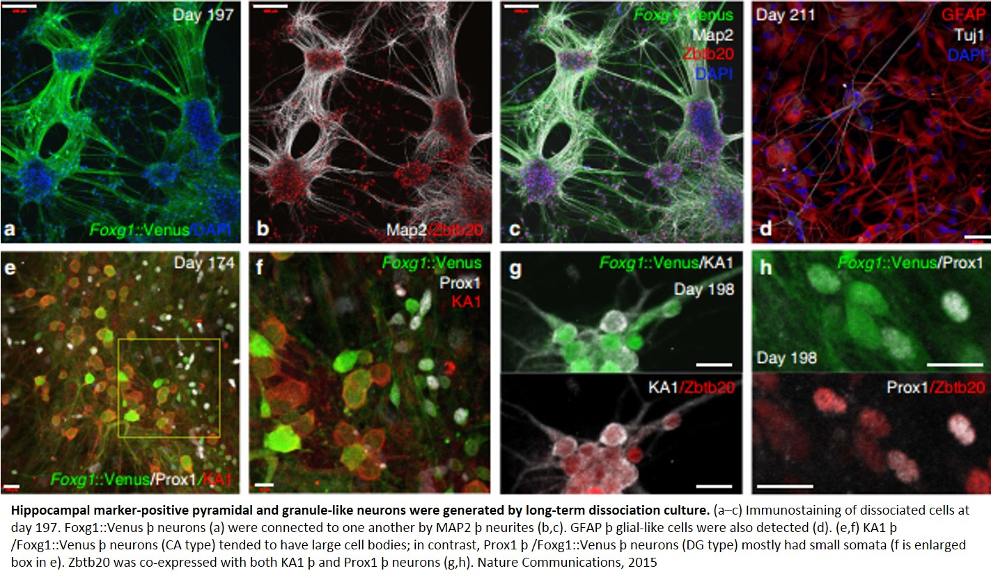 Generation of functional hippocampal neurons from human embryonic stem cells