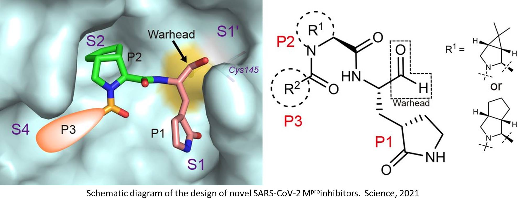 Targeting the SARS-CoV-2 main protease yields promise in transgenic mouse model