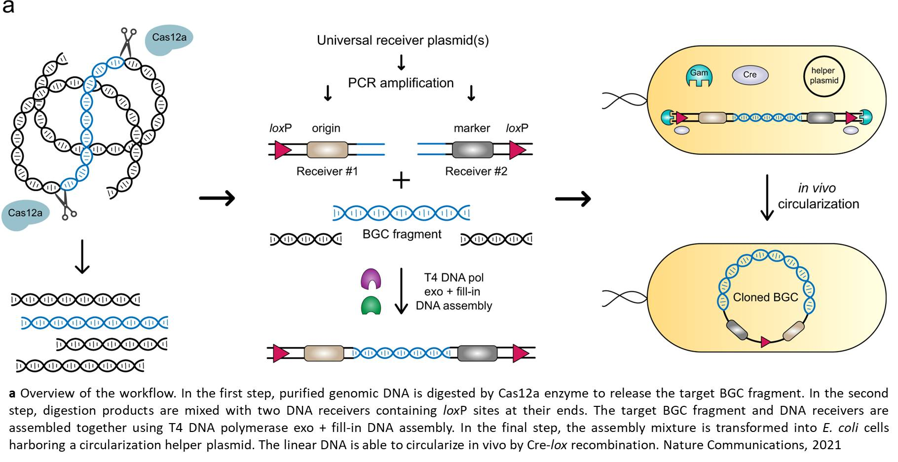 Cas12a-assisted precise targeted cloning
