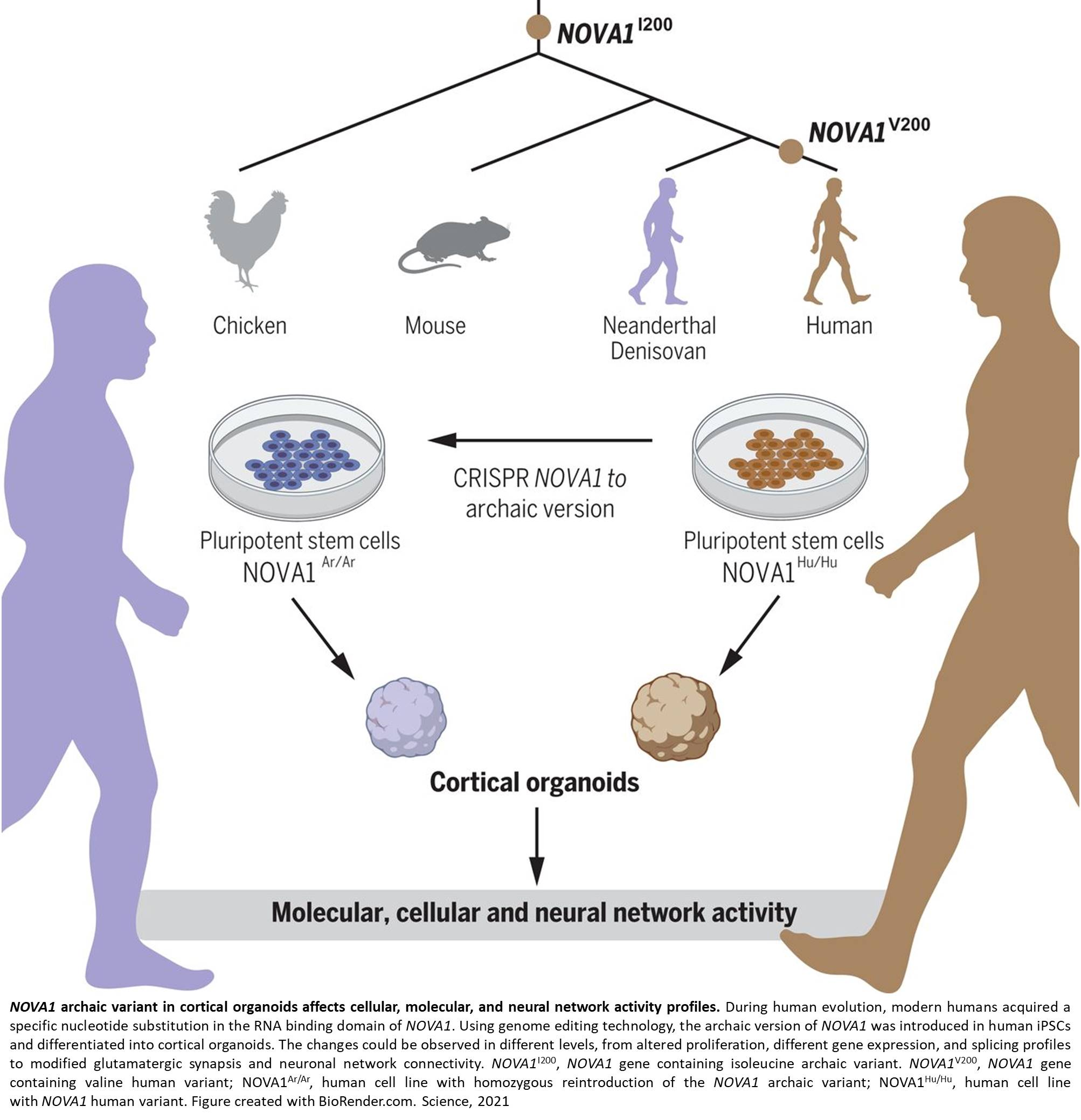 Neurodevelopmental changes in human brain organoids from Neanderthal genes