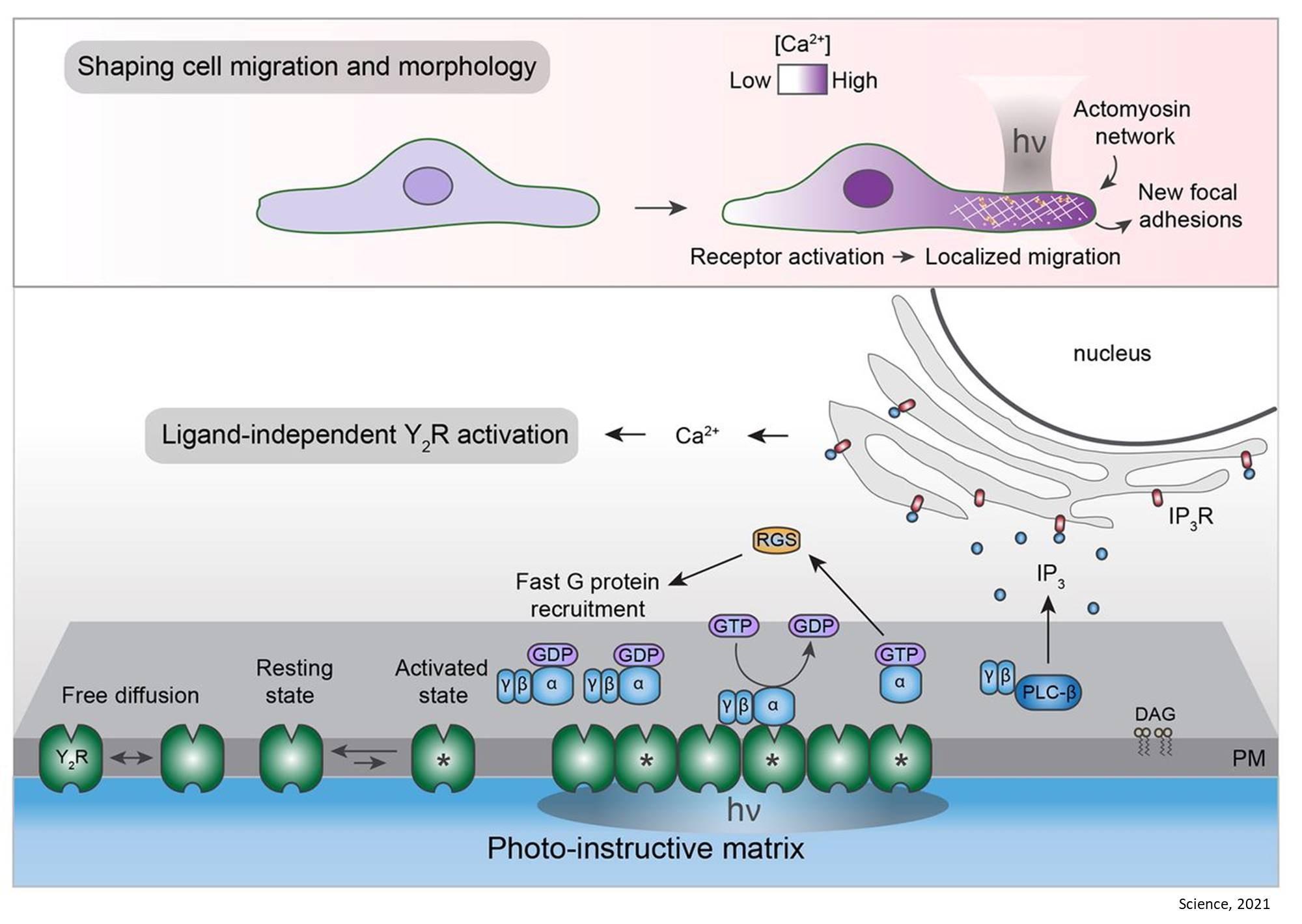 Signal transduction by receptor clustering without signal