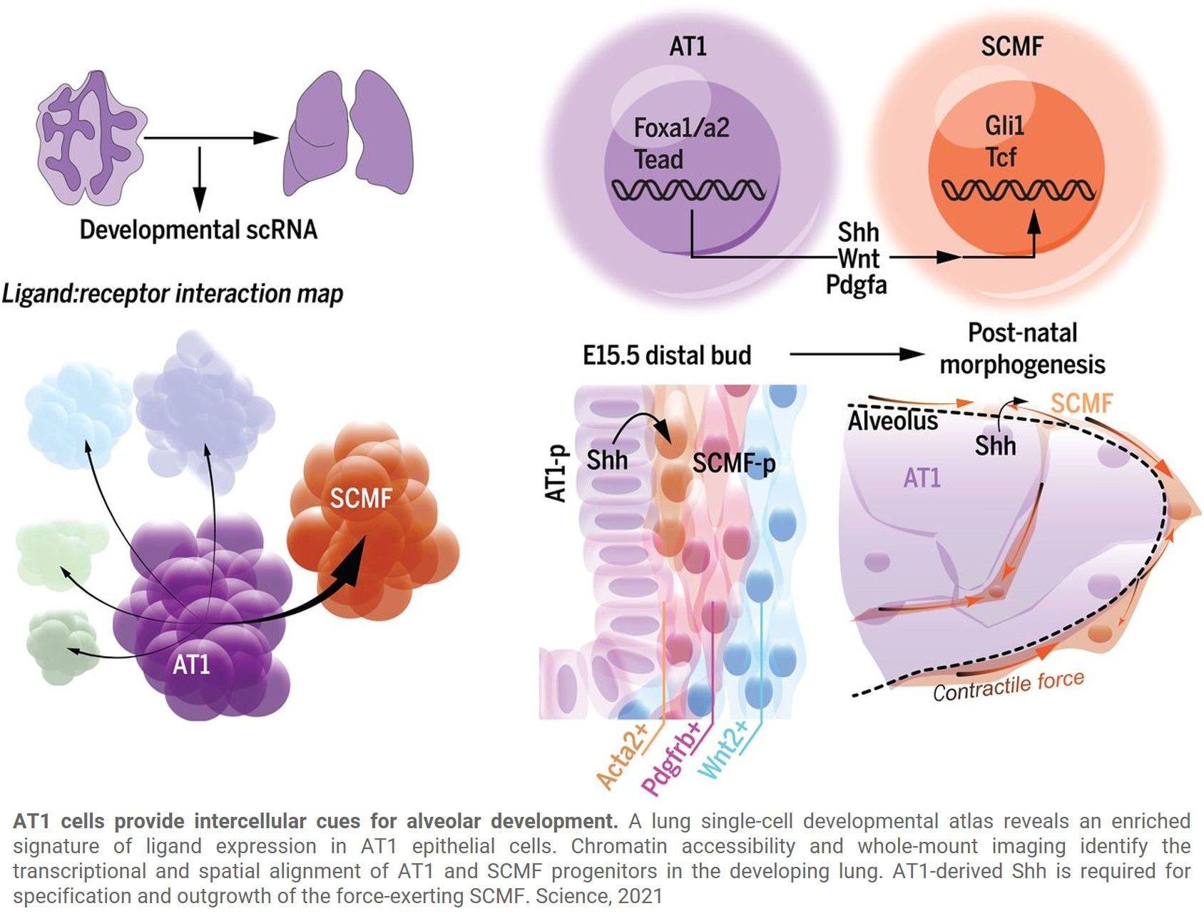The molecular details of lung development