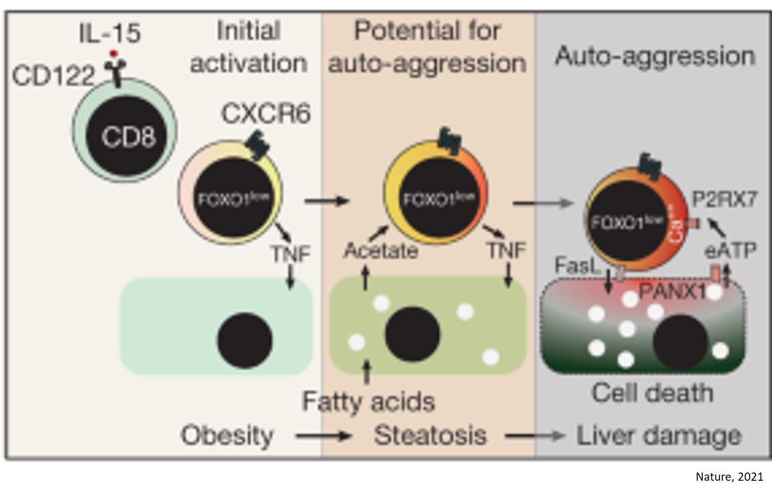 Auto-aggressive immune cells attack liver cells to cause fatty liver