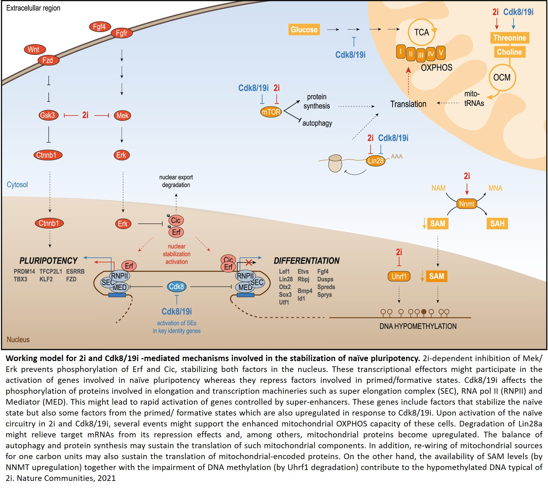 Dissection of two routes to naïve pluripotency using different kinase inhibitors