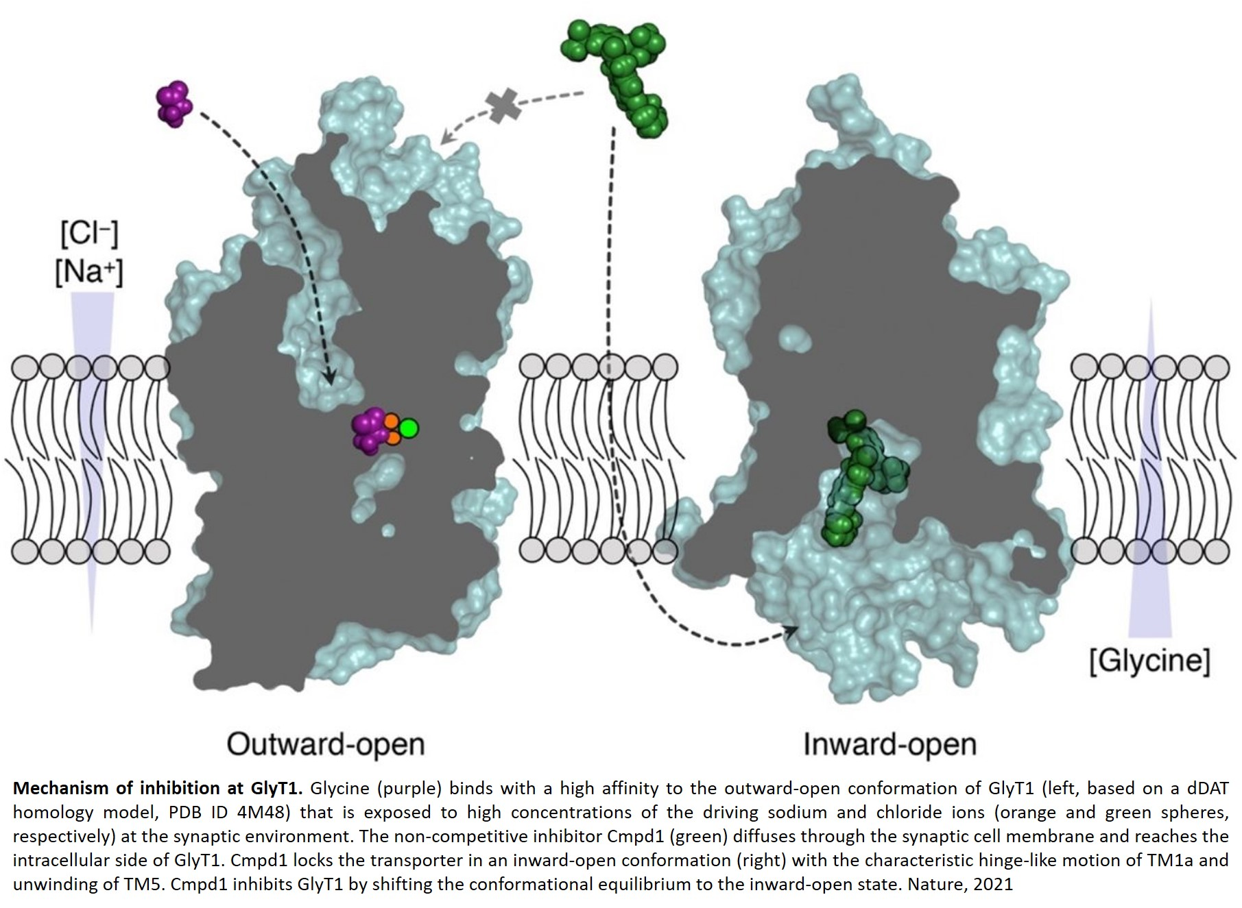 Structural insights into the inhibition of glycine reuptake