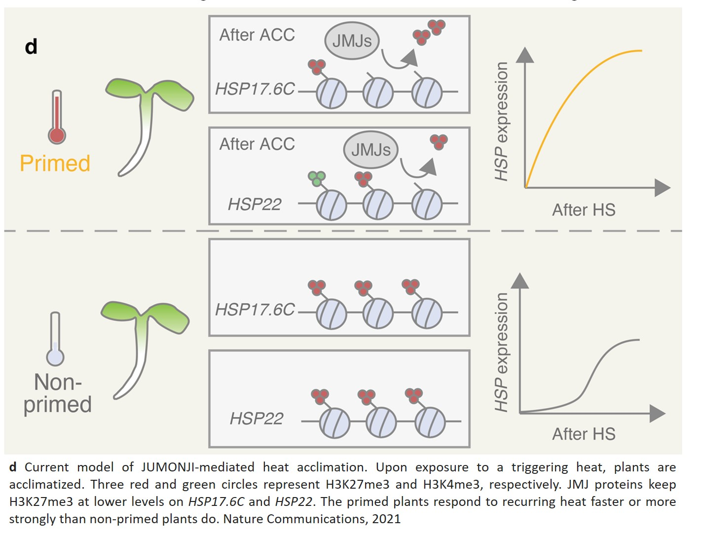 Memory mechanism allows plants to adapt to heat stress