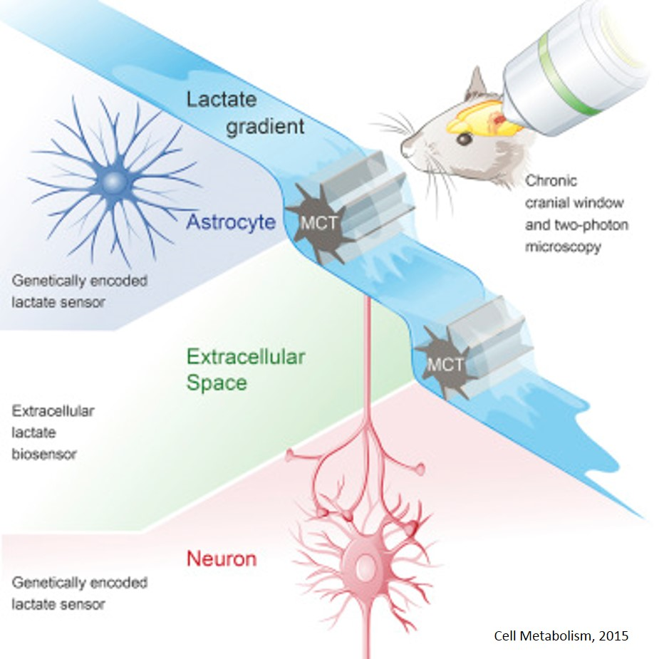 Lactate gradient from astrocytes to neurons