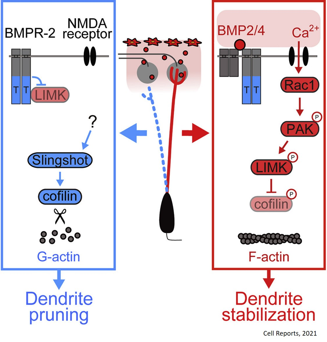 Controlling the pruning and strengthening of neuron branches