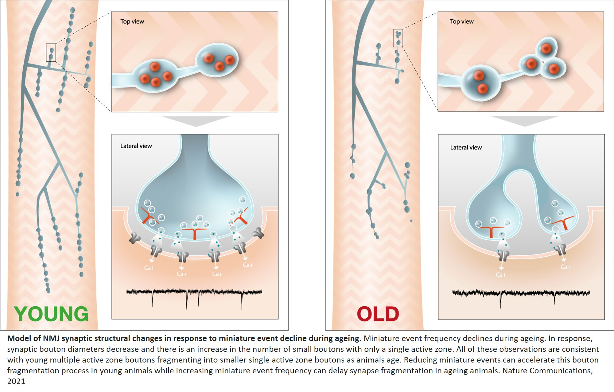 Miniature neurotransmission and ageing