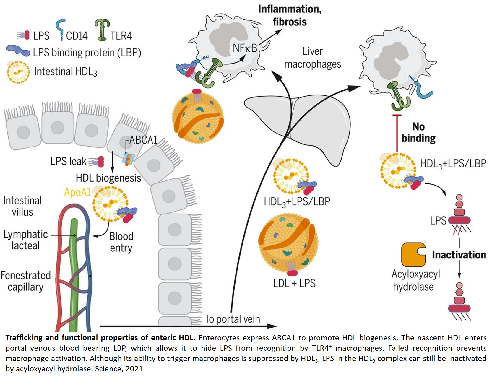 Intestinal HDL may prevent liver inflammation!