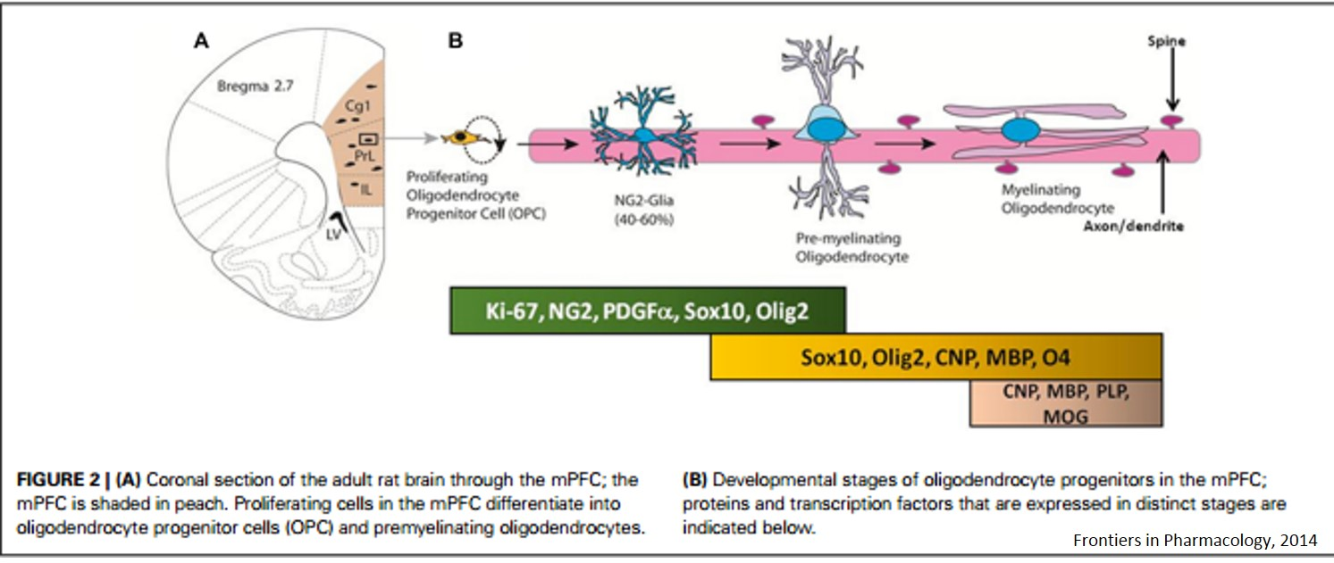 Depressive-like behaviors by the loss of NG2 glia