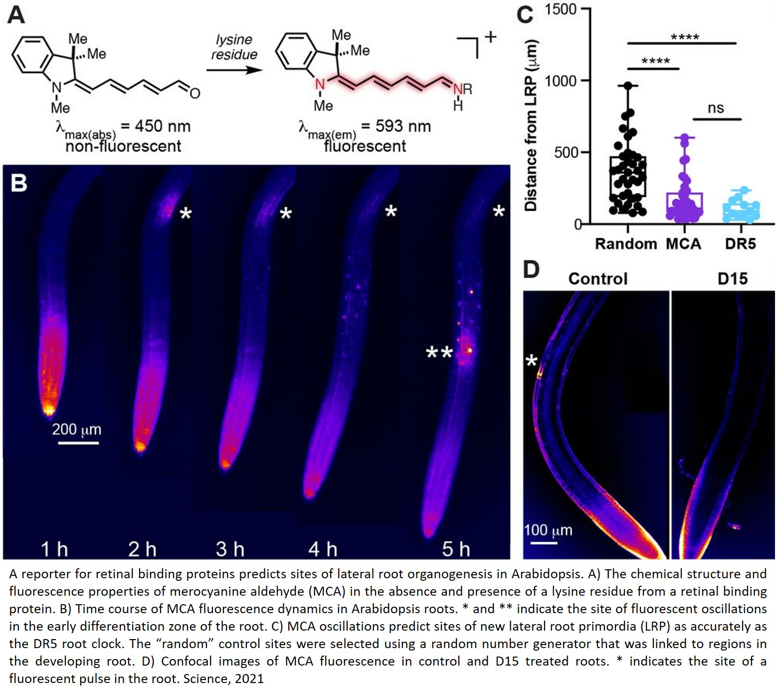Role of retinal in plant later root generation