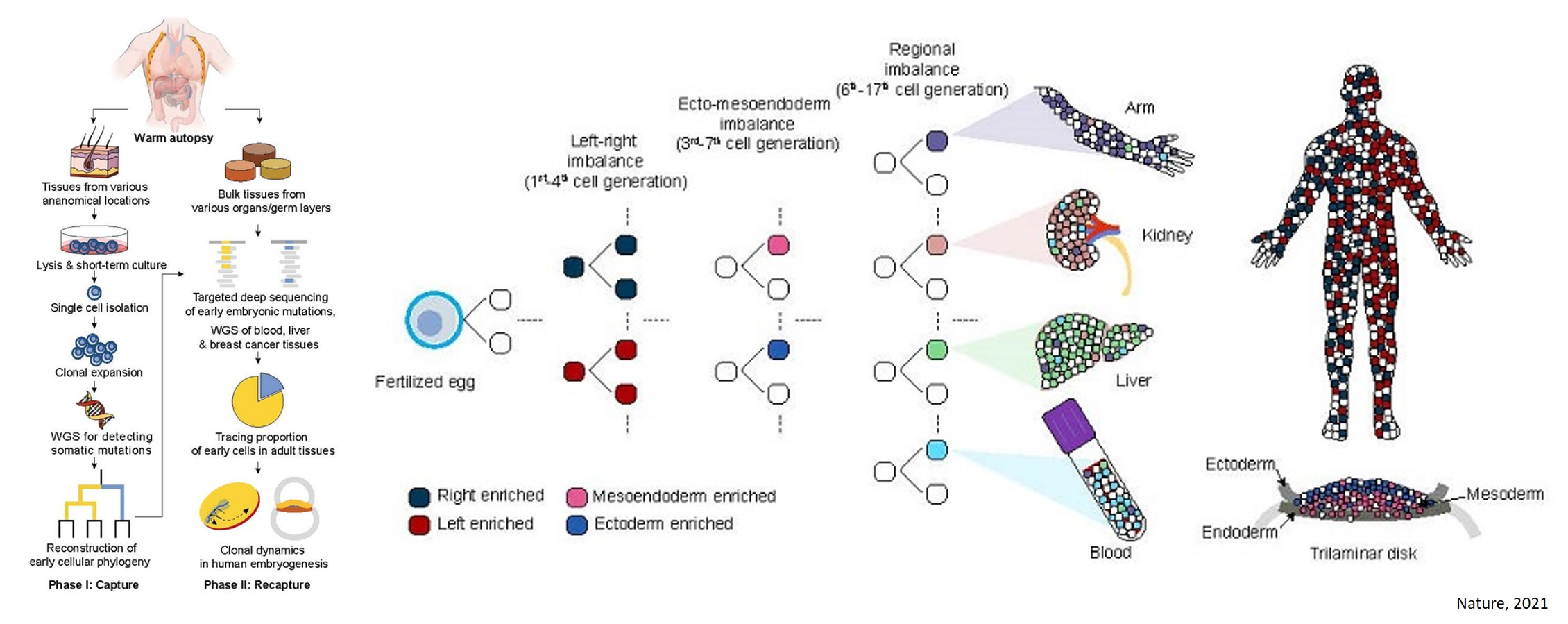 Human embryonic development at the single cell level!