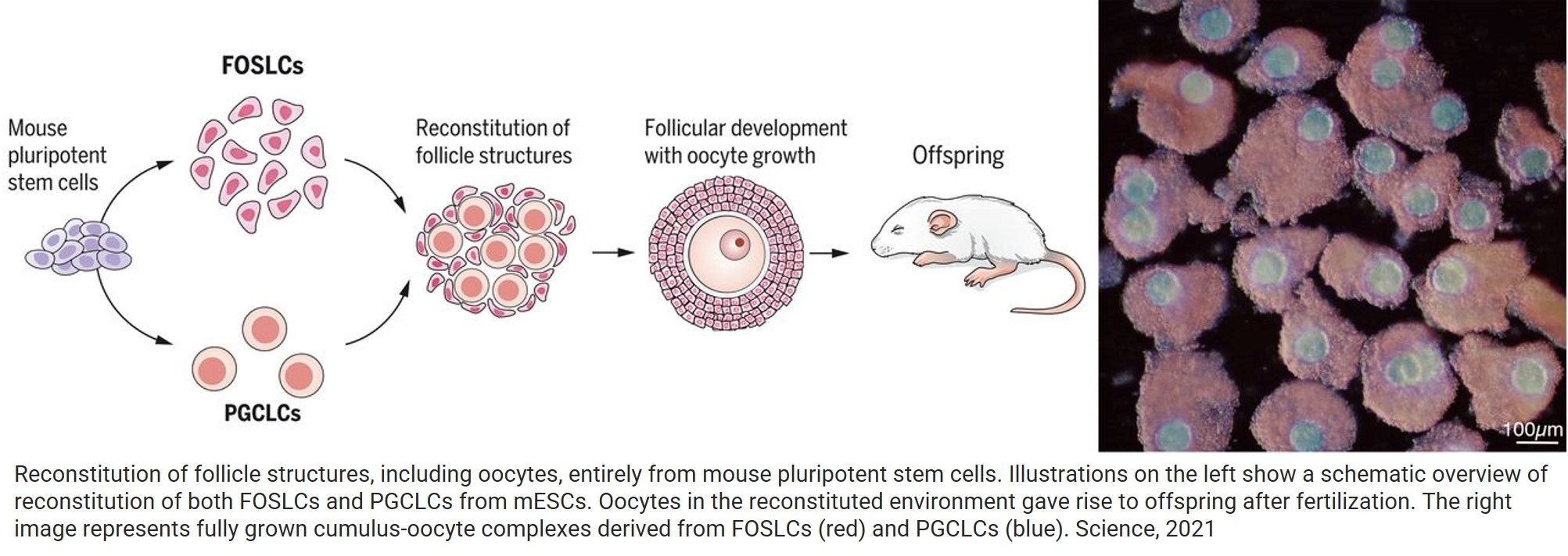 Generation of ovarian follicles from mouse pluripotent stem cells