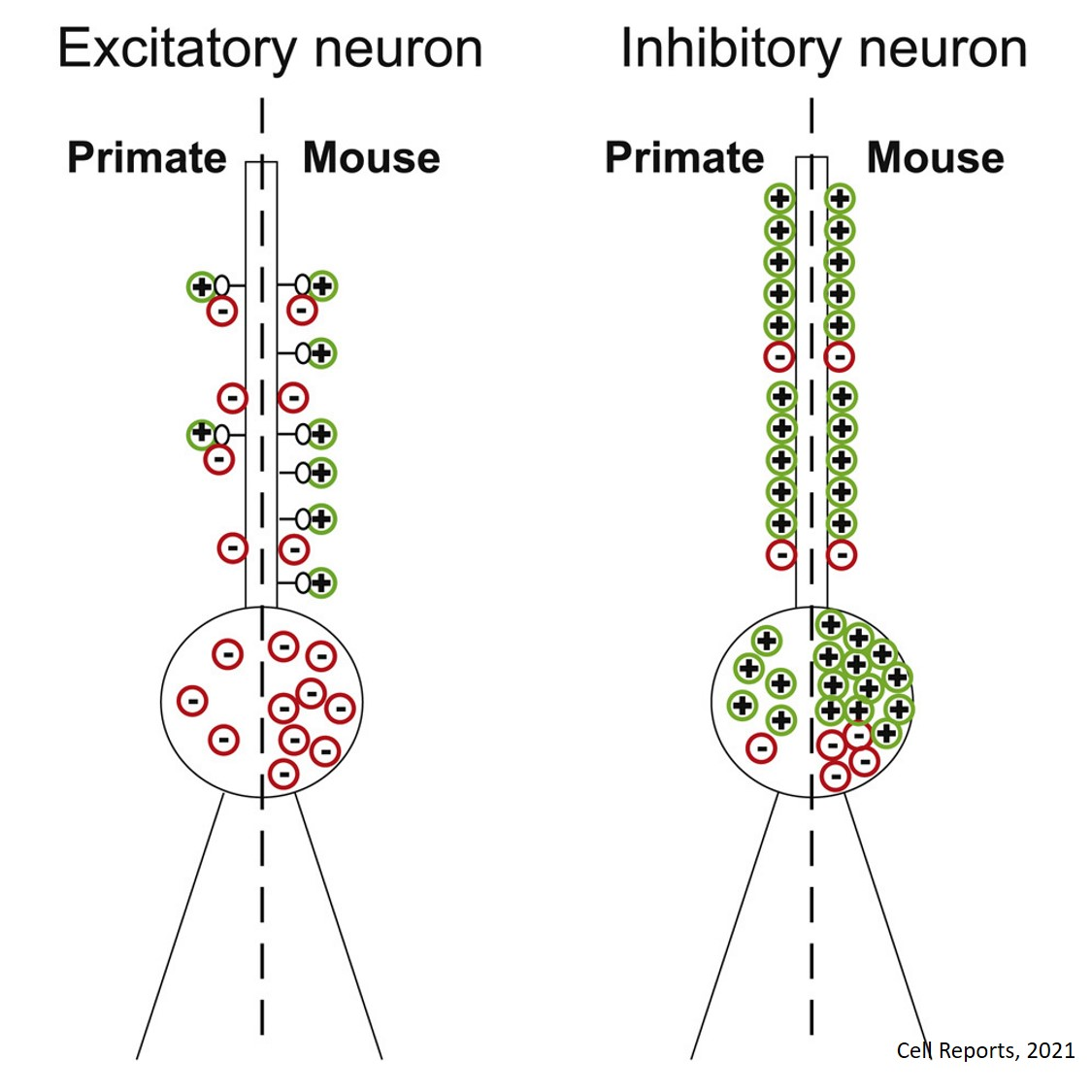Primate neurons have fewer synapses than mice in visual cortex