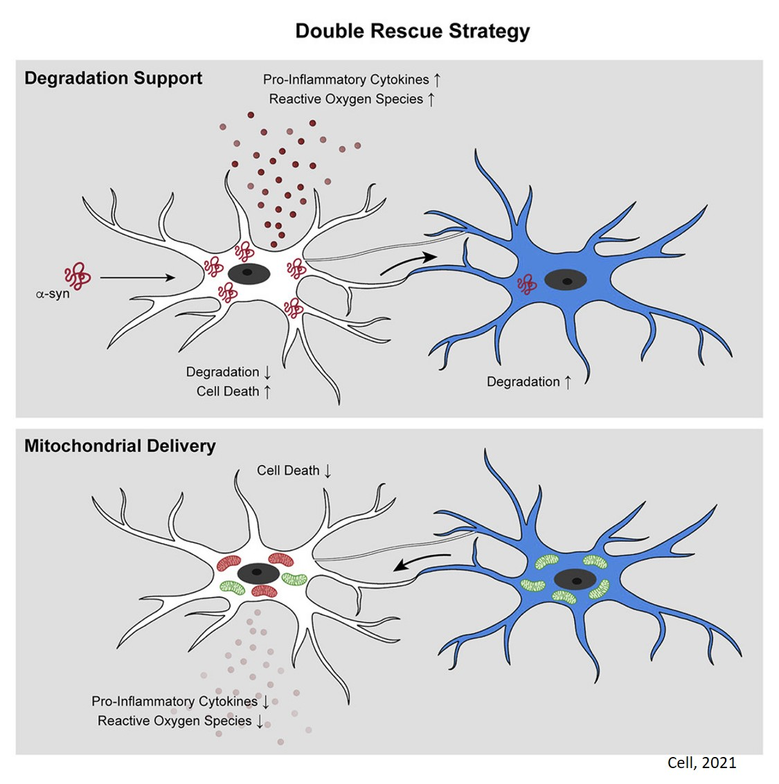 Microglial nanotubes connect with each other to degrade synuclein