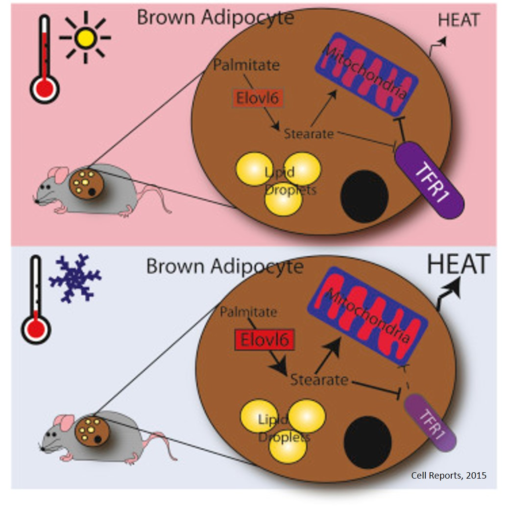 Brown Adipose Tissue Thermogenic Capacity Is Regulated by Elovl6