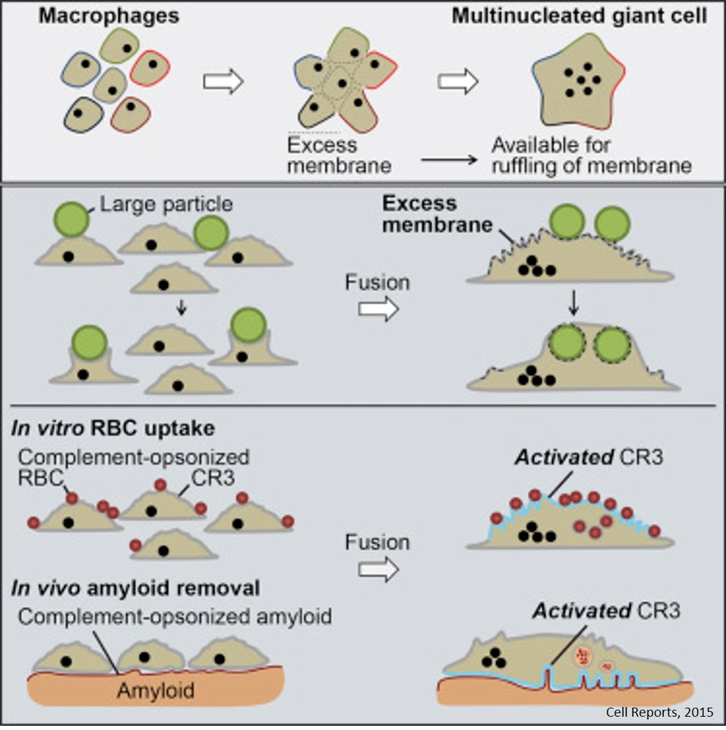 Fusion of macrophages to multinucleated giant cells eliminate large targets by phagocytosis