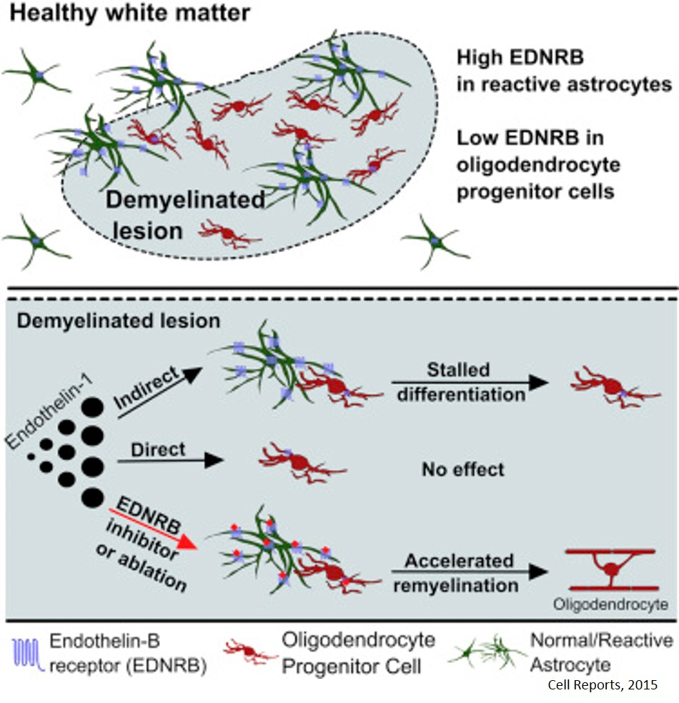 Regulation of remyelination by endothelin receptor