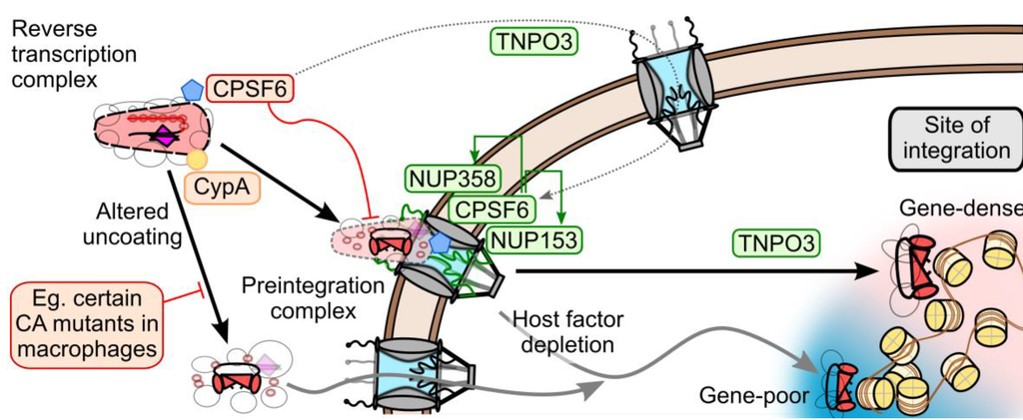 Closing the loop on an HIV escape mechanism