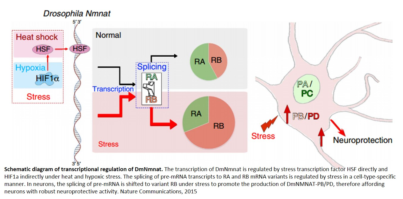 Alternative splicing as a switch to enhance neuroprotection under stress