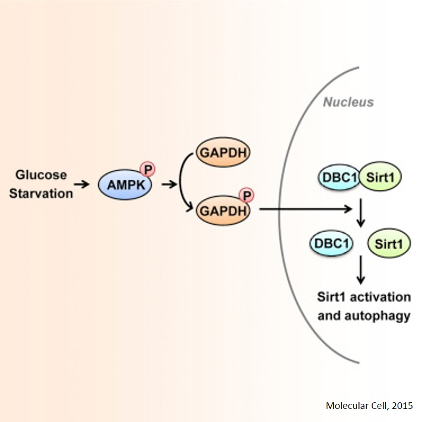 Role of GAPDH in glucose starvation induced autophagy