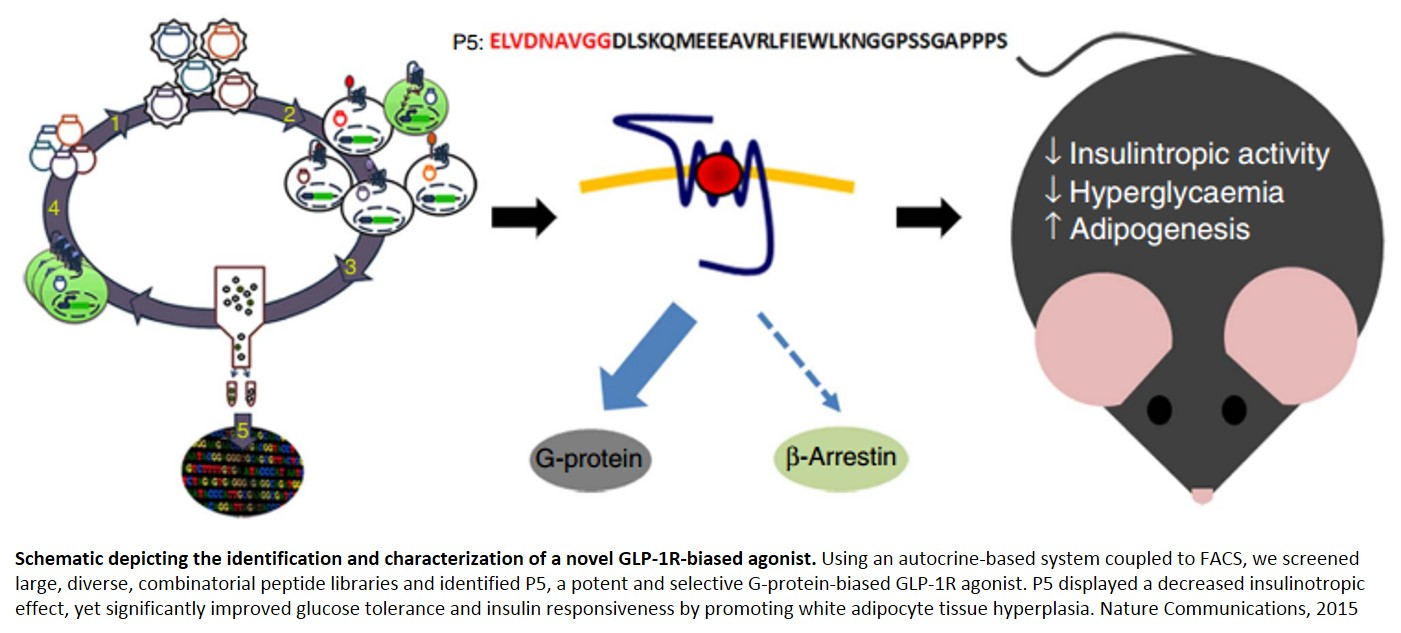 Identification and characterization of a novel GLP-1R-biased agonist