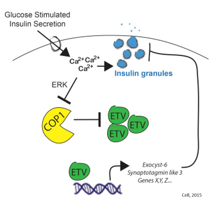 β-Cell insulin secretion requires the ubiquitination of transcription factors