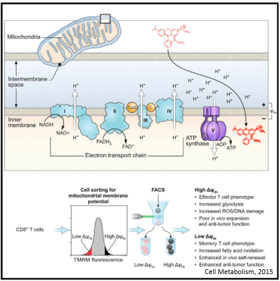 Mitochondrial Membrane Potential Identifies Cells with Enhanced Stemness for Cellular Therapy
