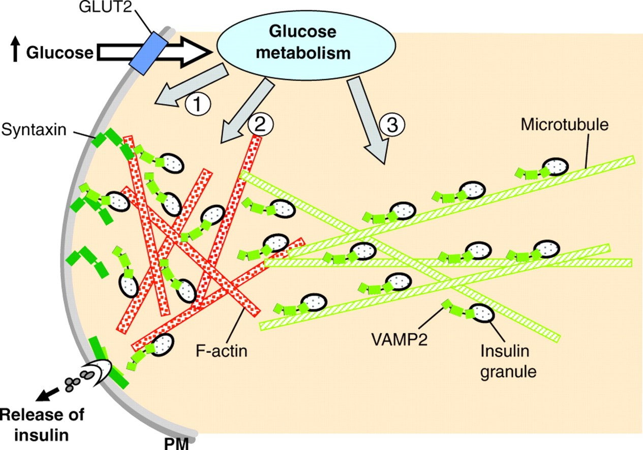 Microtubules Negatively Regulate Insulin Secretion