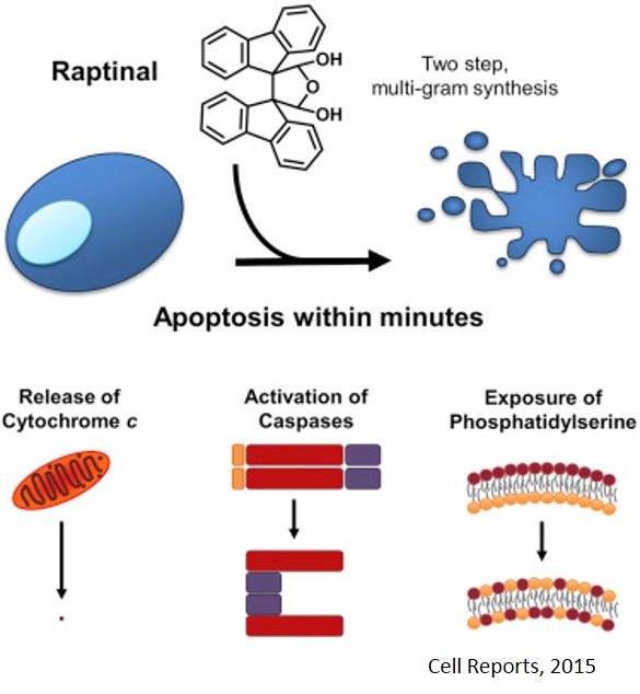 Apoptosis in minutes!