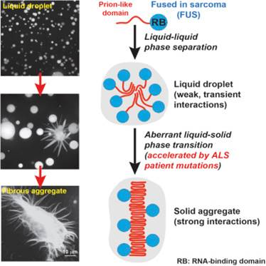 A Liquid-to-Solid Phase Transition of the ALS Protein FUS Accelerated by Disease Mutation