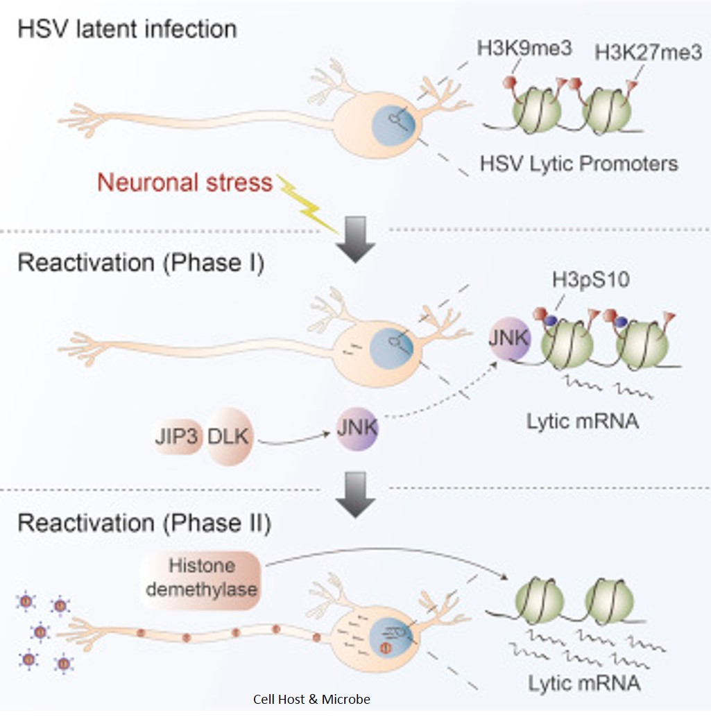 How herpes simplex virus reactivates in neurons to trigger disease